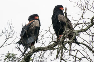 Masai Mara, Kenya - Safari - Game drive - Bateleur bird