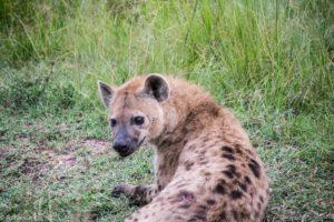Masai Mara, Kenya - Safari - Game drive - Hyena spotting