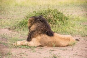 Masai Mara, Kenya - Safari - Game drive - Lion spotting