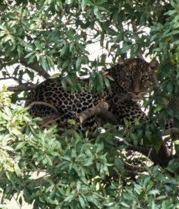 Masai Mara, Kenya - Safari - Game drive - Leopard spotting