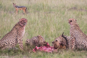 Masai Mara, Kenya - Safari - Game drive - Cheetah eating impala spotting