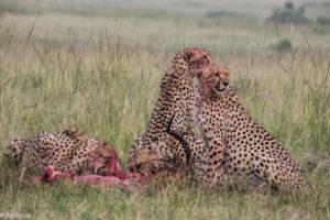 Masai Mara, Kenya - Safari - Game drive - Cheetah eating impala spotting