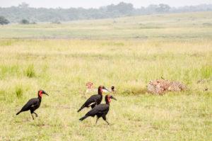 Masai Mara, Kenya - Safari - Game drive - Cheetah eating impala with Southern ground hornbill spotting