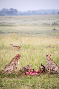 Masai Mara, Kenya - Safari - Game drive - Cheetah eating impala with jackal spotting