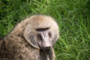 Lake Nakuru, Kenya - spotting baboon during game drive
