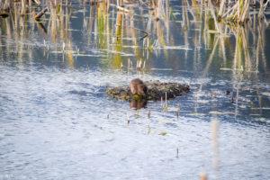 Valemount, Canada - George Hicks Regional Park - Beavers - Muskrat