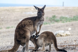 Kangaroo Island, Australia - Stokes Bay - Waves & Wildlife cottages