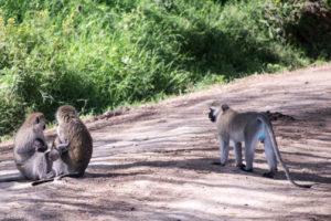 Vervet monkey (Blue balls monkey)