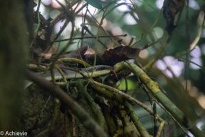 Borneo, Malaysia - Mulu - Gunung Mulu National Park - Snake encounter