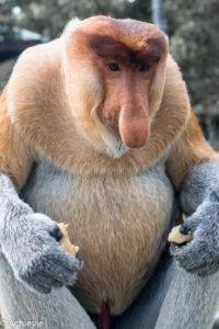 Borneo, Malaysia - Labuk Bay Proboscis Monkey Sanctuary