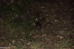 Borneo, Malaysia - Deramakot Forest Reserve - Night tour - Malay civet