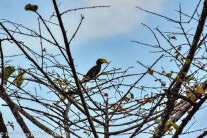 Borneo, Malaysia - Deramakot Forest Reserve - Wildlife - Wrinkled hornbill