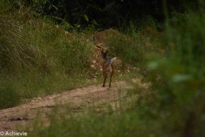 orneo, Malaysia - Deramakot Forest Reserve - Wildlife - Deer