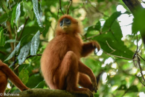 Borneo, Malaysia - Danum Valley Conservation Area - Sabah - Red leaf monkey