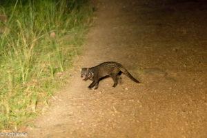 Borneo, Malaysia - Danum Valley Conservation Area - Sabah - Malay civet
