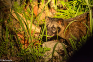Borneo, Malaysia - Danum Valley Conservation Area - Sabah - Palm civet
