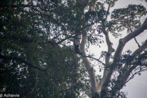 Borneo, Malaysia - Danum Valley Conservation Area - Sabah - Gibbon