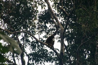 Borneo, Malaysia - Danum Valley Conservation Area - Sabah - Gibbon