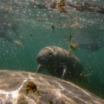 Crystal River, Florida, USA - Snorkeling with manatees with Plantation Adventure Centre